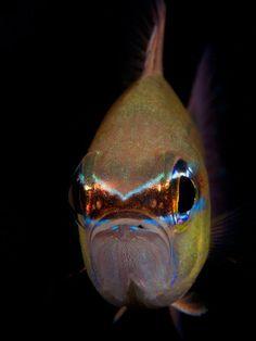 Ring-Tail Cardinalfish / Gulf of Oman, United Arab Emirates / by Iyad Suleyman