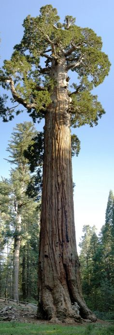 sequoias gigantes - Pesquisa Google