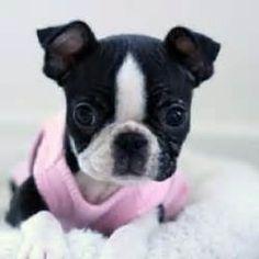 Best 20+ Baby boston terriers ideas on Pinterest | Boston terriers, Boston terrier and Boston ...
