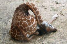 Az éber zsiráfoknál csak az alvó zsiráfok cukibbak - fotók