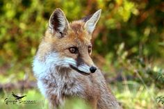 Fox 2 by ironsnake62 #animals #pets #fadighanemmd