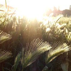 Sometimes light and  field of grass are all you need.  #hollisterdesignstudio #hollisterstudio #landscapedesign #landscapedesigner #plants #gardens #design #designlovers  #droughttolerant #gardendesign #napa #Sonoma
