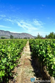 The Beautiful Vineyards at Vina Montes, Colchagua Valley, Chile.   Some of the best places to go wine tasting in Chile, are in the Colchagua Valley. I headed to top winery Vina Montes, for a special tour and wine tasting.  http://www.wanderlustchloe.com/2016/05/top-places-to-go-wine-tasting-in-the-colchagua-valley-vina-montes.html