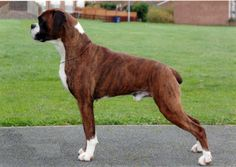 Boxer : Dog Breeds Pictures!