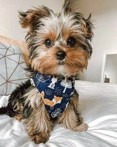 Baby Animals, Funny Animals, Cute Animals, Cute Puppies, Cute Dogs, Yorkie Puppy, Dog Rules, Yorkshire Terrier, Puppy Love