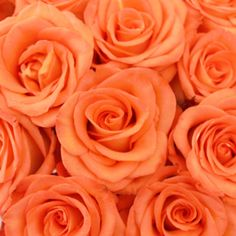 Get the Orange High and Peach Bulk Roseat wholesale prices! High and Peach has a large bloom that opens into a stunning shape. A vibrant, near fluorescent peach rose is sure to add energy to your bouquet! Offered in quantities of 50 and 75 stems, High and Peach would look amazing next to a contrasting lime green filler flower!