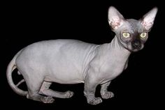 While some people might be turned off by this cat breed, others simply love them.  The Hairless Munchkin Cat which is one of the smallest of the hairless b