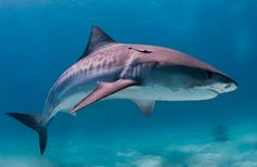 Sharks, Humans Living So Close; Why Not More Attacks? : Discovery News