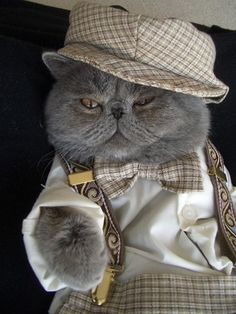 This. Is. Awesome!  I want this cat!  (Exotic Shorthair by dbphotosfile, via Flickr.)