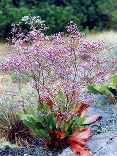 D9. limonium latifolium