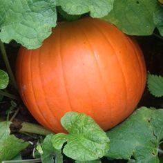 Pumpkins nearly read