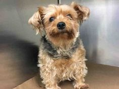 SUPER URGENT 07/05/2017 HONEY – A1117479 SPAYED FEMALE, TAN / WHITE, YORKSHIRE TERR MIX, 8 yrs OWNER SUR – ONHOLDHERE, HOLD FOR ID Reason OWNER SICK Intake condition EXAM REQ Intake Date 07/05/2017, From NY 10467, DueOut Date 07/05/2017,