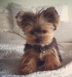 Yorkshire Terrier Big The many things we admire about the Sprightly Yorkie Puppies Teacup Puppies, Cute Puppies, Cute Dogs, Dogs And Puppies, Teacup Yorkie, Poodle Puppies, Shorkie Puppies, Adorable Babies, Baby Yorkie