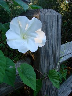 By Becca Badgett (Co-author of How to Grow an EMERGENCY Garden) If your garden area is used for evening relaxation and entertainment, add the enticing fragrance of moonflowers in the garden. Large white or purple blooms on a climbing vine offer an amazing evening smell when growing moonflowers. Moonflower plants (Ipomoea alba) are perennial vines…