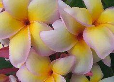 Plumerias...using PicArt