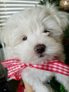 This puppy is so cute with the little bow on it! Little Bow, Bows, Puppies, Cute, Photos, Animals, Arches, Cubs, Pictures