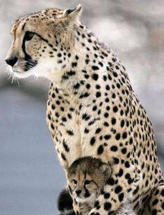 .mama guepardo