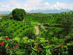 Eje cafetero Es la zona de mayor producción de café colombiano, famoso en el mundo por su sabor y calidad.  Los departamentos que integran el Eje cafetero son Risaralda, Quindío y Caldas, tierras con gente cálida, hermosos paisajes, aguas termales y picos nevados. Se caracteriza por los cafetales interminables adornados de inmensas cascadas y árboles multicolores. Gente cálida y paisajes hermosos, así somos en FromNativo. Encuentra la esencia. Visítanos www.FromNativo.com