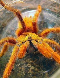 Orange tarantula with large fangs Cool Insects, Bugs And Insects, Beautiful Bugs, Amazing Nature, Cool Bugs, Veneno, Baboon, Mundo Animal, Reptiles And Amphibians
