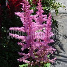 image de Astilbe arendsii Amethyst Plantation, Wild Flowers, Planting Flowers, Amethyst, Photos, Nature, Image, Garden, Cottage Gardens
