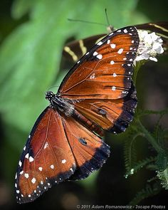 Queen Butterfly | Flickr - Photo Sharing!