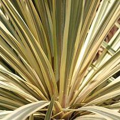 Cordyline australis 'Torbay Dazzler' at San Marcos Growers - 15 gallon, few available