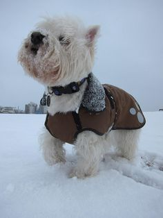 Westie - love the coat!-