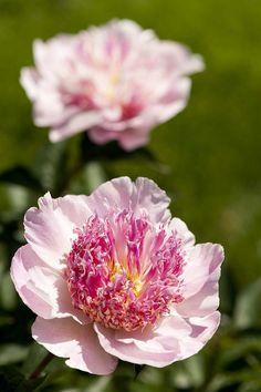 ~Japanese Peony. Paeonia lactiflora 'Do Tell'