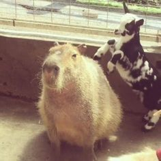 A capybara...the world's biggest rodent!