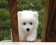 Samoyed puppy--looks like a bebe polar bear. i want you