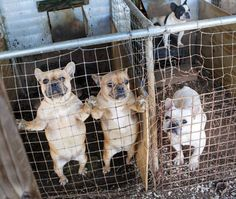 The Truth About Puppy Mills: Puppy mills are cruel, inhumane breeding facilities whose sole focus is profit. There is little or no concern for the health and well being of the animals. Puppies are born with severe health, behavioral and socialization issues. Breeding dogs are neglected, starved and left sick and injured without medical care or relief from overwhelming pain. Please click to learn more.