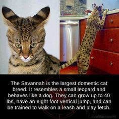 This image was shared via LOL Pics Savannah Kitten, Savannah Chat, Crazy Cat Lady, Crazy Cats, Largest Domestic Cat, Cat Facts Text, Large Domestic Cat Breeds, Creepy, Serval Cats