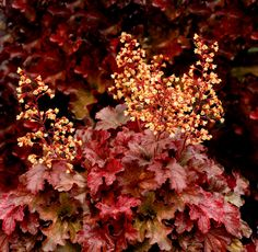 1 Gallon Plant, Heuchera micrantha 'Root Beer' Coral Bells, Evergreen, Root Beer-red Colored Foliage, Creamy Yellow Flowers in May-June Coral Bells Plant, Coral Bells Heuchera, Shade Garden, Garden Plants, Plant Catalogs, Evergreen Shrubs, Foliage Plants, Spring Blooms, Shade Plants