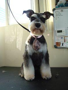 miniature schnauzer grooming styles   jpg