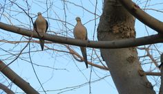 two morning doves