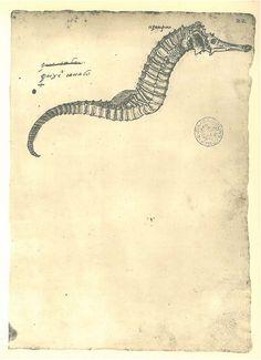 Vintage Print  Seahorse Sketch Drawing Maranhao Brazil by carambas