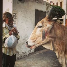 An Indian man folds his hand in veneration in front of a #cow in Delhi, India…