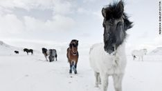 They were the original horses of the Vikings. Taken to Iceland from Norway in the ninth and 10th centuries to help Norse settlers colonize their new surroundings. Fast forward a millennium, and after undergoing a unique policy of pure breeding, the Icelandic horse is today perhaps the most majestic of all members of the equine family.