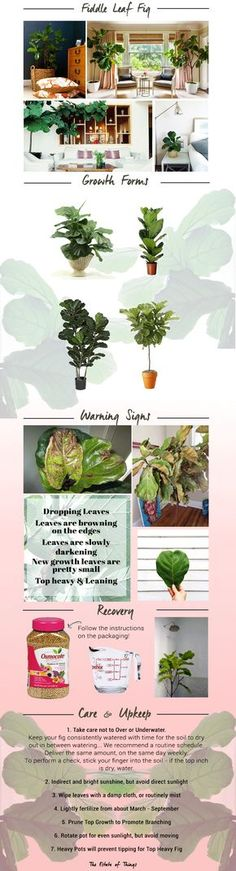 Fiddle Leaf Fig Guide from The Estate of Things