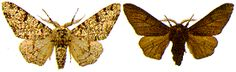 peppered moths simulation lesson natural selection