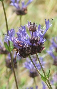 Salvia clevelandii, Winnifred Gilman has fragrant foliage and flowers. - grid24_6
