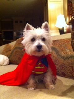 Super Westie!!  WE MUST COME UP WITH SOMETHING FAB U LOUS  for Halloween  ( Can't wear the Santa suit again !)
