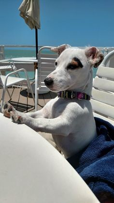 Let's order guys! Chien Jack Russel, Jack Russell Puppies, Jack Russell Terrier, Cute Puppies, Cute Dogs, Dogs And Puppies, Doggies, Funny Animal Pictures, Dog Pictures