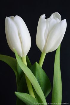 The white tulip. my favorite flower..so pure and beautiful....
