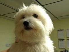 Bailey-Pending is an adoptable Coton De Tulear Dog in Clarksville, TN. We operate out of a PRIVATE RESIDENCE and ask that you please be considerate of the procedures explained below. Pet viewing is by...
