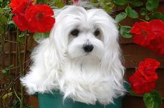Snowdrop the Maltese by Morag Bates (off & on), via Flickr