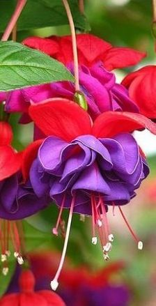 Fuchsia~Dark Eyes Hummingbird favorite!