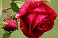 Rose Flowers Images - Flowers Images - Flowers to find flowers photos,flowers pics,flowers photo gallery @ http://heartjohn.com/