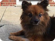 Bronx, NY - Pomeranian Mix. Meet Roxy, a dog for adoption. http://www.adoptapet.com/pet/17037643-bronx-new-york-pomeranian-mix