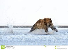 「grizzly bear galloping」の画像検索結果